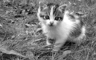 Place Kitten Grayscale 400x250